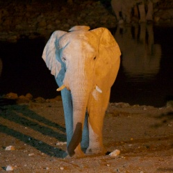Elephant at the watering hole at night, Etosha National Park, Namibia