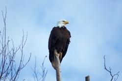Bald Eagle at Boundary Bay