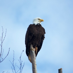 Bald Eagle at Boundary Bay