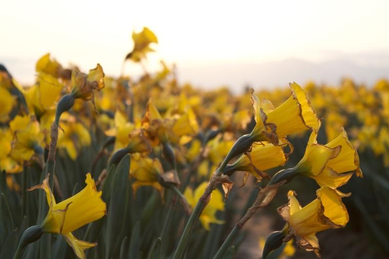 Daffodils at Sunrise