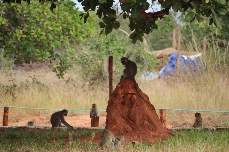 More vervet monkeys