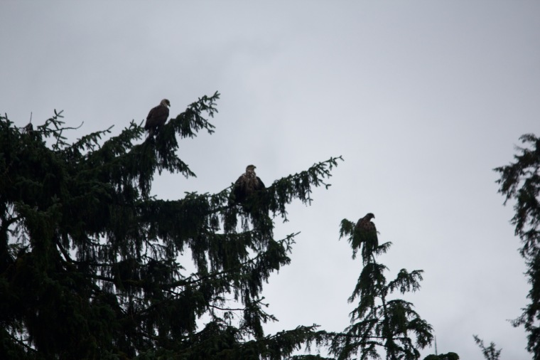 Bald Eagles!
