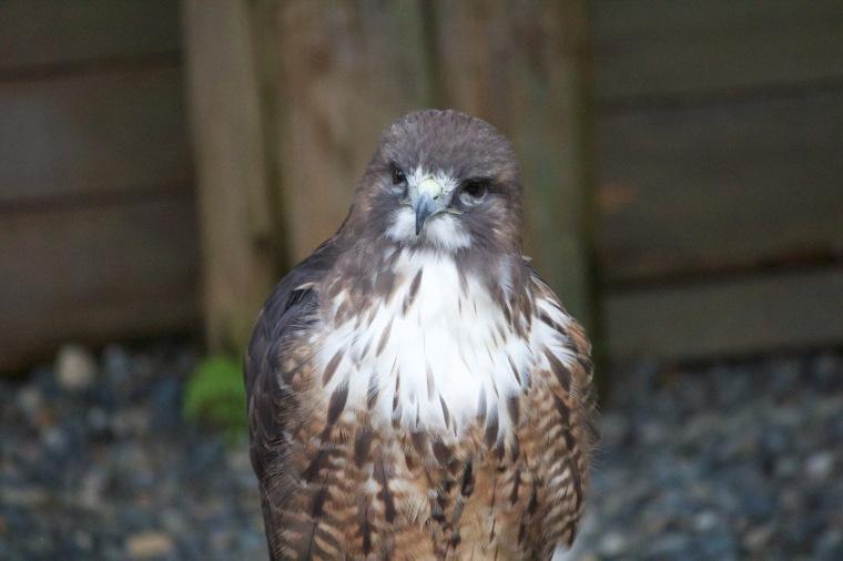 Cute hawk
