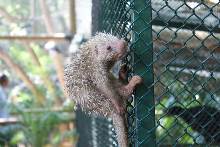 A prehensile-tailed porcupine!