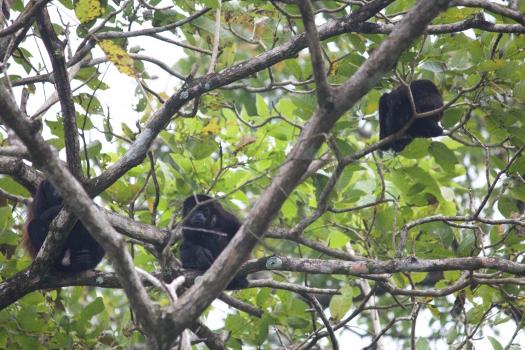 Howler monkeys!